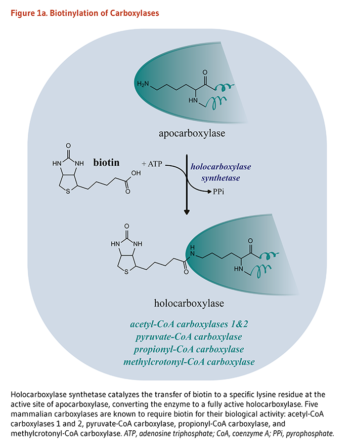 Biotin Figure 1a. Biotinylation of Carboxylases. Holocarboxylase synthetase catalyzes the transfer of biotin to a specific lysine residue at the active site of apocarboxylase, converting the enzyme to a fully active holocarboxylase. Five mammalian carboxylases are known to require biotin for their biological activity: acetyl-CoA carboxylases 1 and 2, pyruvate-CoA carboxylase, propionyl-CoA carboxylase, and methylcrotonyl-CoA carboxylase. ATP, adenosine triphosphate; CoA, coenzyme A; PPi, pyrophosphate.