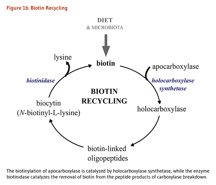 Biotin Figure 1b. Biotin Recycling. The biotinylation of apocarboxylase is catalyzed by holocarboxylase synthetase, while the enzyme biotinidase catalyzes the removal of biotin from the peptide products of carboxylase breakdown.