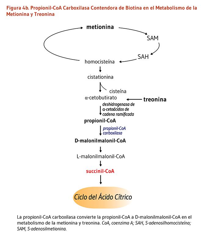 tratamiento de la diabetes acetil coa carboxilasa