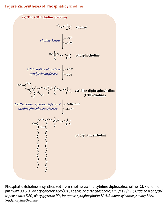 Phosphatidylcholine is synthesized from choline via two pathways. Figure 2a shows the cytidine diphosphocholine (CDP-choline) pathway (enzymes of this pathway include choline kinase, CTP:choline phosphate cytidylyltransferase, and CDP-choline:1,2-diacylglycerol choline phosphotransferase.