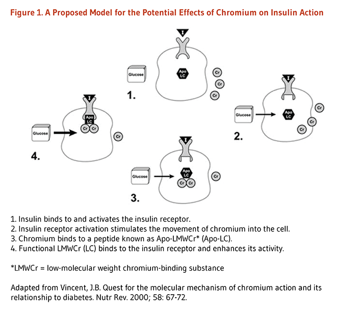 Figure 1. A Proposed Model for the Potential Effects of Chromium on Insulin Action. 1. Insulin binds to and activates the insulin receptor. 2. Insulin receptor activation stimulates the movement of chromium into the cell. 3. Chromium binds to a peptide known as Apo-LMWCr* (Apo-LC). 4. Functional LMWCr (LC) binds to the insulin receptor and enhances its activity.  *LMWCr = low-molecular weight chromium-binding substance. Figure adapted from Vincent, J.B. Quest for the molecular mechanism of chromium action and its relationship to diabetes. Nutr Rev. 2000; 58: 67-72.