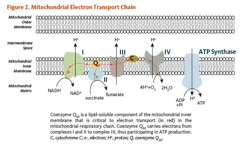 Figure 2. Mitochondrial Electron Transport Chain. Coenzyme Q10 is a lipid-soluble component of the mitochondrial inner membrane that is critical to electron transport (in red) in the mitochondrial respiratory chain. Coenzyme Q10 carries electrons from complexes I and II to complex III, thus participating in ATP production.