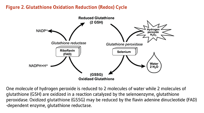 Figure 2. Glutathione Oxidation Reduction (Redox) Cycle. One molecule of hydrogen peroxide is reduced to two molecules of water, while two molecules of glutathione (GSH) are oxidized in a reaction catalyzed by the selenoenzyme, glutathione peroxidase. Oxidized glutathione may be reduced by the flavin adenine dinucleotide (FAD)-dependent enzyme, glutathione reductase.