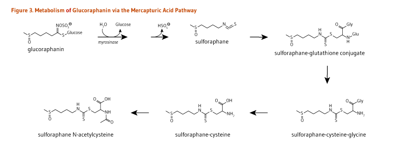 Figure 3. Metabolism of Glucoraphanin via the Mercapturic Acid Pathway. Glucoraphanin is metabolized by myrosinase to sulforaphane; sulforaphane is converted to sulforaphane-gluathione conjugate, then to sulforaphane-cysteine-glcine, then to sulforaphane-cysteine, then to sulforaphane N-acetylcysteine