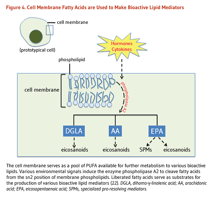 Figure 4. Cell Membrane Fatty Acids are Used to Make Bioactive Lipid Mediators. The cell membrane serves as a pool of PUFA available for further metabolism to various bioactive lipids. Various environmental signals induce the enzyme phospholipase A2 to cleave fatty acids from the sn2 position of membrane phospholipids. Liberated fatty acids serve as substrates for the production of various bioactive lipid mediators.