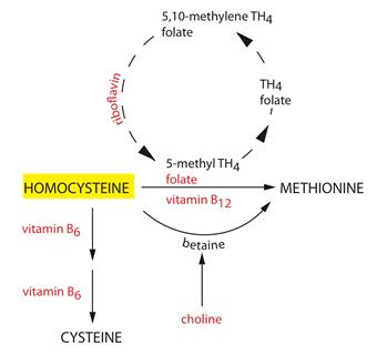 High Homocysteine | Linus Pauling Institute | Oregon State University
