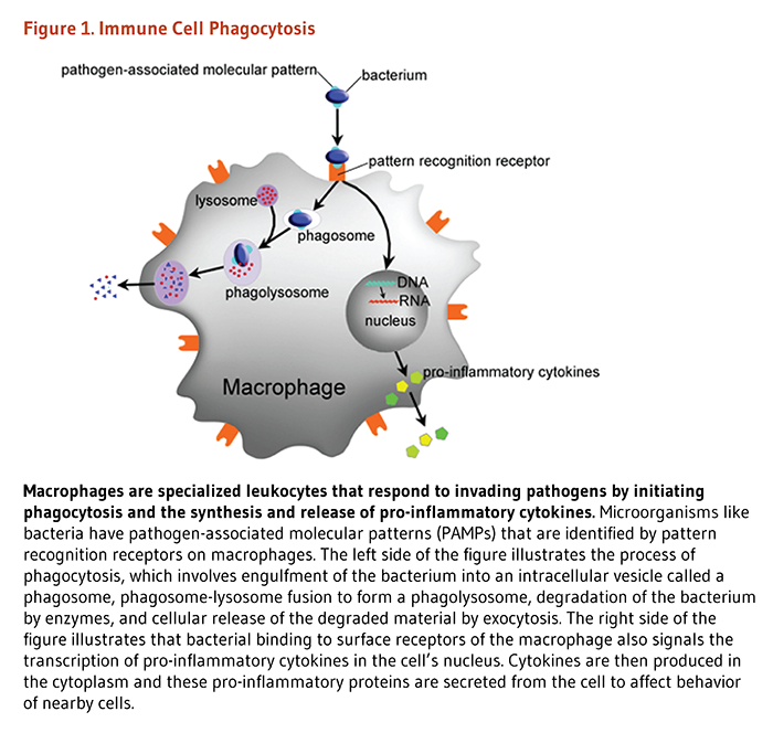 Figure 1. Immune Cell Phagocytosis. Macrophages are specialized leukocytes that respond to invading pathogens by initiating phagocytosis and the synthesis and release of pro-inflammatory cytokines. Microorganisms like bacteria have pathogen-associated molecular patterns (PAMPs) that are identified by pattern recognition receptors on macrophages. The left side of the figure illustrates the process of phagocytosis, which involves engulfment of the bacterium into an intracellular vesicle called a phagosome, phagosome-lysosome fusion to form a phagolysosome, degradation of the bacterium by enzymes, and cellular release of the degraded material by exocytosis. The right side of the figure illustrates that bacterial binding to surface receptors of the macrophage also signals the transcription of pro-inflammatory cytokines in the cell's nucleus. Cytokines are then produced in the cytoplasm and these pro-inflammatory proteins are secreted from the cell to affect behavior of nearby cells.