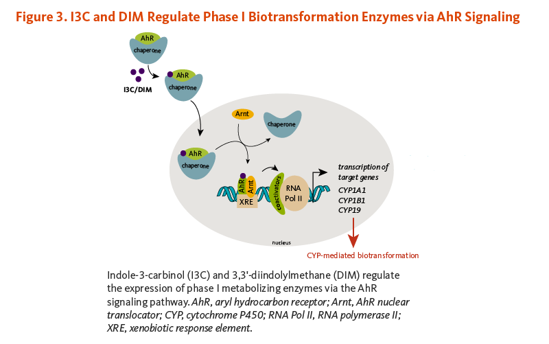 Figure 3. I3C and DIM Regulate Phase I Biotransformation Enzymes via AhR Signaling. Indole-3-carbinol (I3C) and 3,3'-diindolylmethane (DIM) regulate the expression of phase I metabolizing enzymes via the AhR signaling pathway.