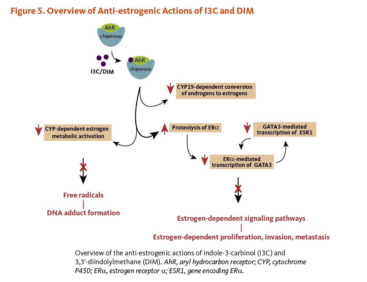 Indole 3 carbinol linus pauling institute oregon state university figure 5 overview of anti estrogenic actions of i3c and dim pooptronica