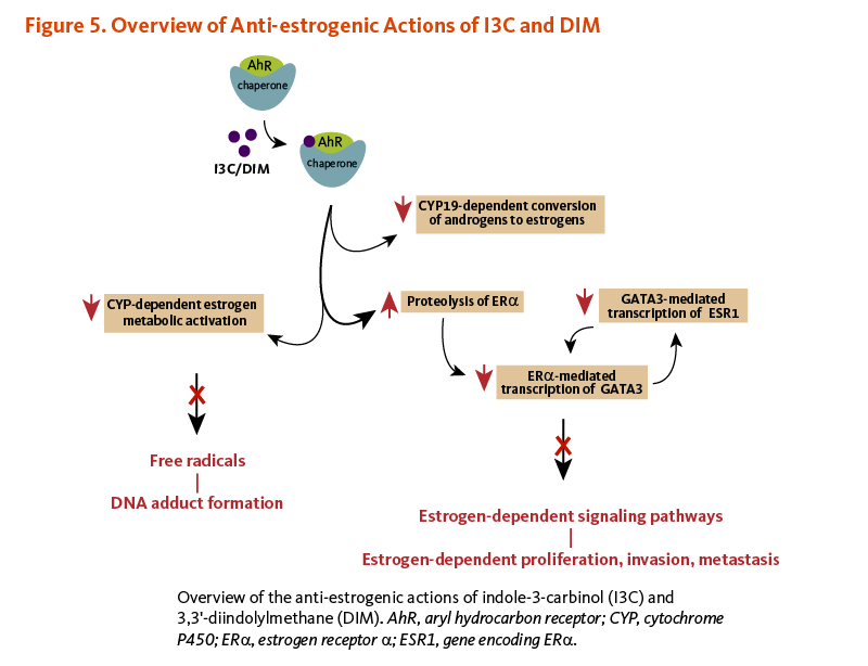 Figure 5. Overview of Anti-estrogenic Actions of I3C and DIM.