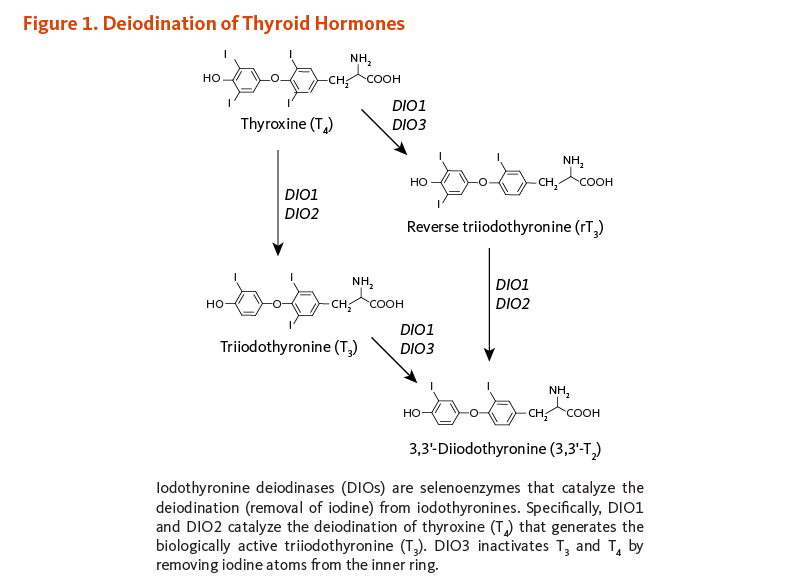 Figure 1. Iodine Intake and Thyroid Function. In response to thyrotropin-releasing hormone (TRH) secretion by the hypothalamus, the pituitary gland secretes thyroid-stimulating hormone (TSH), which stimulates iodine trapping, thyroid hormone synthesis, and release of T3 (triiodothyronine) and T4 (thyroxine) by the thyroid gland. When dietary iodine intake is sufficient, the presence of adequate circulating T4 and T3 feeds back at the level of both the hypothalamus and pituitary, decreasing TRH and TSH production. When circulating T4 levels decrease, the pituitary increases its secretion of TSH, resulting in increased iodine trapping as well as increased production and release of both T3 and T4. Dietary iodine deficiency results in inadequate production of T4. In response to decreased blood levels of T4, the pituitary gland increases its output of TSH. Persistently elevated TSH levels may lead to hypertrophy of the thyroid gland, also known as goiter.