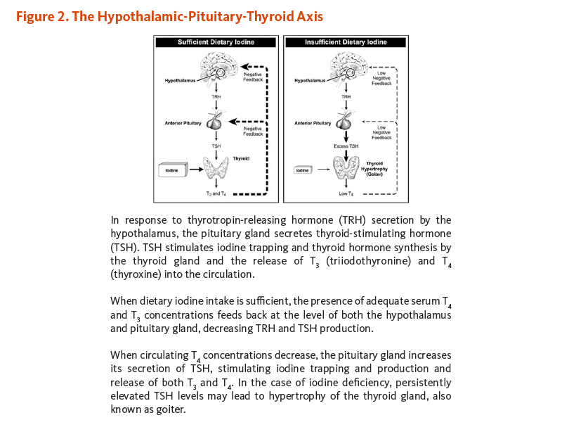 Figure 2. The Hypothalamic-Pituitary-Thyroid Axis. In response to thyrotropin-releasing hormone (TRH) secretion by the hypothalamus, the pituitary gland secretes thyroid-stimulating hormone (TSH). TSH stimulates iodine trapping and thyroid hormone synthesis by the thyroid gland and the release of T3 (triiodothyronine) and T4 (thyroxine) into the circulation. When dietary iodine intake is sufficient, the presence of adequate serum T4 and T3 concentrations feeds back at the level of both the hypothalamus and pituitary gland, decreasing TRH and TSH production. When circulating T4 concentrations decrease, the pituitary gland increases its secretion of TSH, stimulating iodine trapping and production and release of both T3 and T4. In the case of iodine deficiency, persistently elevated TSH levels may lead to hypertrophy of the thyroid gland, also known as goiter.