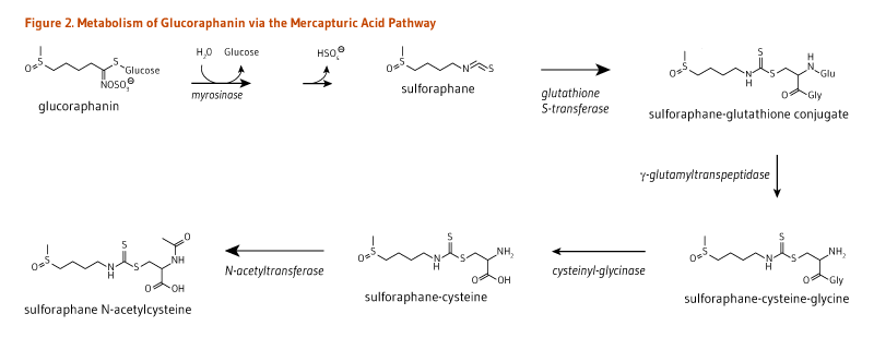 Figure 2. Metabolism of Glucoraphanin via the Mercapturic Acid Pathway. Glucoraphanin is converted to sulforaphane (via myrosinase),  converted to sulforaphane-gluathione conjugate (via glutathione S-transferase), metabolized to sulforaphane-cysteine-glycine via gamma-glutamyltranspeptidase, then converted to sulforaphane-cysteine (via cysteinyl-glycinase), and then sulforaphane N-aceylcysteine (via N-acetyltransferase).