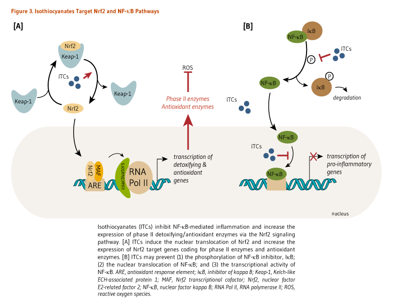 Figure 3. Isothiocyanates Target Nrf2 and NF-kappaB Pathways. Isothiocyanates inhibit NF-kappaB-mediated inflammation and increase the expression of phase II detoxifying/antioxidant enzymes via the Nrf2 signaling pathway. [A] Isothiocyanates induce the nuclear translocation of Nrf2 and increase the expression of Nrf2 target genes coding for phase II enzymes and antioxidant enzymes. [B] Isothiocyanates may prevent (1) the phosphorylation of NF-kappaB inhibitor, IkappaB; (2) th nuclear translocation of NF-kappaB; and (3) the transcriptional activity of NF-kappa B.