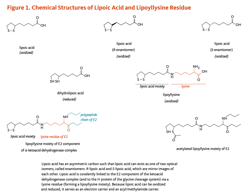 Figure 1. Chemical Structures of Lipoic Acid and Lipoyllysine Residue. Lipoic acid has an asymmetric carbon such that lipoic acid can exist as one of two optical isomers, called enantiomers: R-lipoic acid and S-lipoic acid, which are mirror  images of each other. Lipoic acid is covalently linked to the E2 component of the alpha-ketoacid dehydrogenase complex (and to the H-protein of the glycine cleavage system) via a lysine residue (forming a lipoyllysine moiety). Because lipoic acid can be oxidized and reduced, it serves as an electron carrier and an acyl/methylamide carrier.