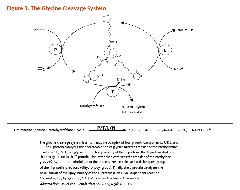 Figure 3. The Glycine Cleavage System. The glycine cleavage system is a multienzyme coomplex of four protein components: P, T, L, and H. The P protein catalyzes the decarboxylation of glycine and the transfer of the methylamine reside (CH2-NH2) of glycine to the lipoyl moiety of the H protein. The H protein shuttles the methylamine to the T protein. The latter then catalyzes the transfer of the methylene group (CH2) to tetrahydrofolate. In the process, NH3 is released and the lipoyl group of the H protein is reduced (dihydrolipoyl group). Finally, the L protein catalyzes the re-oxidation of the lipoyl moiety of the H protein in an NAD-dependent reaction. Figure Adapted from Douce et al. Trends Plant Sci. 2001;6(4):167-176.