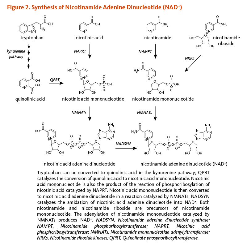 Figure 2. Synthesis of Nicotinamide Adenine Dinucleotide (NAD+). Tryptophan can be converted to quinolinic acid in the kynurenine pathway; QPRT catalyzes the conversion of quinolinic acid to nicotinic acid mononucleotide. Nicotinic acid mononucleotide is also the product of the reaction of phosphoribosylation of nicotinic acid catalyzed by NAPRT. Nicotinic acid mononucleotide is then converted to nicotinic acid adenine dinucleotide in a reaction catalzyed by NMNATs; NADSYN catalyzes the amidation of nicotinic acid adenine dinucleotide into NAD+. Both nicotinamide and nicotinamide riboside are precursors of nicotinamide mononucleotide. The adenylation of nicotinamide mononucleotide catalyzed by NMNATs produces NAD+. NADSYN, Nicotinamide adenine dinucleotide synthase; NAPRT, Nicotinic acid phosphoribosyltransferase; NMNATs, Nicotinamide mononucelotide adenylyltransferase; QPRT, Quinolinate phosphoribosyltransferase.
