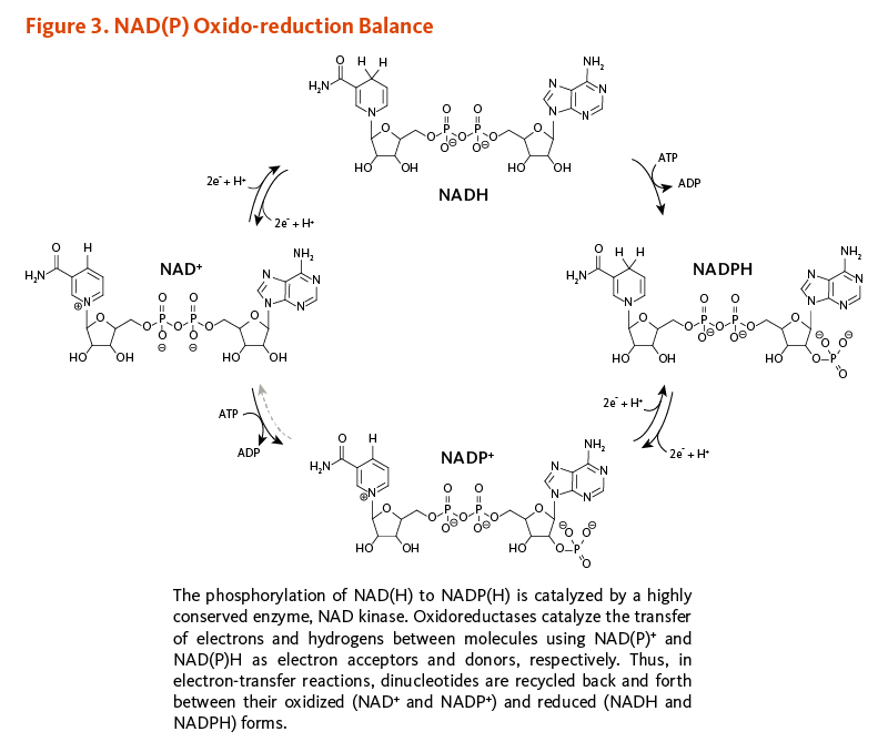 Figure 3. NAD(P) Oxido-reduction Balance. The phosphorylation of NAD(H) to NADP(H) is catalyzed by a highly conserved enzyme, NAD kinase. Oxidoreductases catalyze the transfer of electrons and hydrogens between molecules using NAD(P)+ and NAD(P)H as electron acceptors and donors, respectively. Thus, in electron-transfer reactions, dinucleotides are recycled back and forth between their oxidized (NAD+ and NADP+) and reduced (NADH and NADPH) forms.