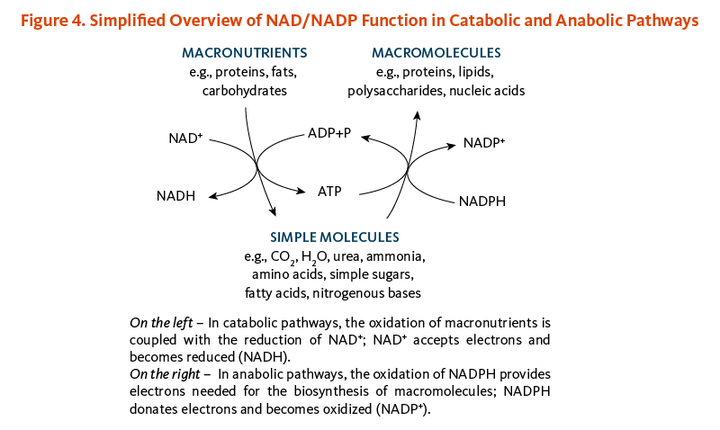 Figure 4. Simplified Overview of NAD/NADP Function in Catabolic and Anabolic Pathways. In catabolic pathways, the oxidation of macronutrients (proteins, fats, carbohydrates) is coupled with the reduction of NAD+; NAD+ accepts electrons and becomes reduced (NADH). In anabolic pathways, the oxidationof NADPH provides electrons needed for the biosynthesis of macromolecules (e.g., proteins, lipids, polysaccharides, nucleic acids); NADPH donates electrons and becomes oxidized (NADP+).