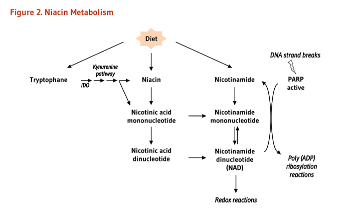 Figure 2. Niacin Metabolism. As explained in the article text, NAD can be synthesized from dietary niacin or nicotinamide, in addition from the dietary amino acid, tryptophan, via the kynuremine pathway. NAD participates in redox reactions. Also explained in the text, the activation of PARP enzymes by oxidative damage to DNA could be responsible for inducing NAD/niacin depletion.