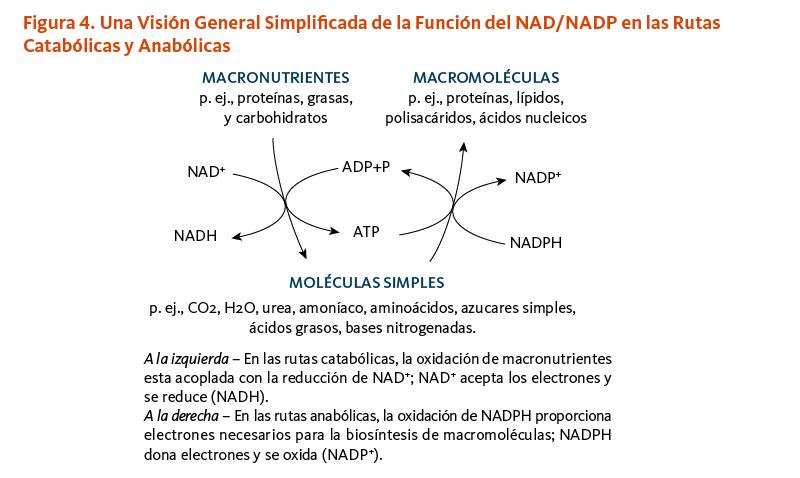 Figura 4. Una Visión General Simplificada de la Función del NAD/NADP en las Rutas Catabólicas y Anabólicas. A la izquierda – En las rutas catabólicas, la oxidación de macronutrientes esta acoplada con la reducción de NAD+; NAD+ acepta los electrones y se reduce (NADH).  A la derecha – En las rutas anabólicas, la oxidación de NADPH proporciona electrones necesarios para la biosíntesis de macromoléculas; NADPH dona electrones y se oxida (NADP+).
