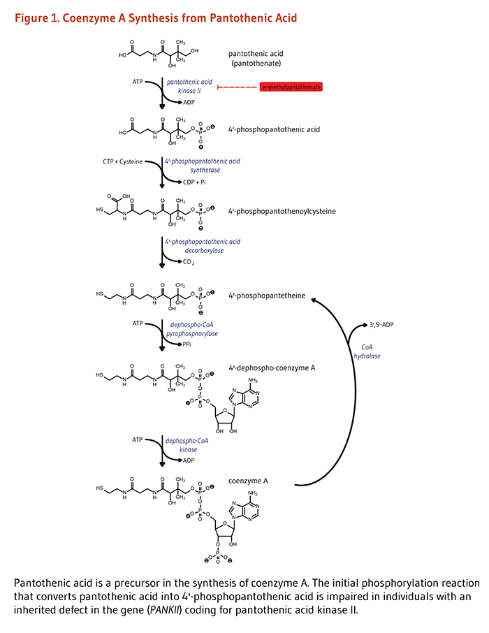Figure 1. Coenzyme A Synthesis from Pantothenic Acid. Pantothenic acid is a precursor in the synthesis of coenzyme A. The initial phosphorylation reaction that converts pantothenic acid into 4'-phosphopantothenic acid is impaired in individuals with an inherited defect in the gene (PANKII) coding for pantothenic acid kinase II.