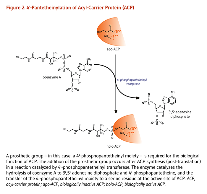 Figure 2. 4'-Pantetheinylation of Acyl-Carrier Protein (ACP). A prosthetic group – in this case, a 4'-phosphopantetheinyl moiety – is required for the biological function of ACP. The addition of the prosthetic group occurs after ACP synthesis (post-translation) in a reaction catalyzed by 4'-phosphopantetheinyl transferase. The enzyme catalyzes the hydrolysis of coenzyme A to 3',5'-adenosine diphosphate and 4'-phosphopantetheine, and the transfer of the 4'-phosphopantetheinyl moiety to a serine residue at the active site of ACP. ACP, acyl-carrier protein; apo-ACP, biologically inactive ACP; holo-ACP, biologically active ACP.