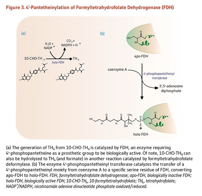 Figure 3. 4'-Pantetheinylation of Formyltetrahydrofolate Dehydrogenase (FDH). (a) The generation of TH4 from 10-CHO-TH4 is catalyzed by FDH, an enzyme requiring 4'-phosphopantetheine as a prosthetic group to be biologically active. Of note, 10-CHO-TH4 can also be hydrolyzed to TH4 (and formate) in another reaction catalyzed by formyltetrahydrofolate deformylase. (b) The enzyme 4'-phosphopantetheinyl transferase catalyzes the transfer of a 4'-phosphopantetheinyl moiety from coenzyme A to a specific serine residue of FDH, converting apo-FDH to holo-FDH. FDH, formyltetrahydrofolate dehydrogenase; apo-FDH, biologically inactive FDH; holo-FDH, biologically active FDH; 10-CHO-TH4, 10-formyltetrahydrofolate; TH4, tetrahydrofolate; NADP+/NADPH, nicotinamide adenine dinucleotide phosphate oxidized/reduced.