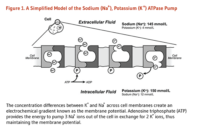 Figure 1. A Simplified Model of the Sodium (Na+), Potassium (K+) ATPase Pump. The concentration differences between K+ and Na+ across cell membranes create an electrochemical gradient known as the membrane potential. Adenosine triphosphate (ATP) provides the energy to pump 3 Na+ ions out of the cell in exchange for 2 K+ ions, thus maintaining the membrane potential.
