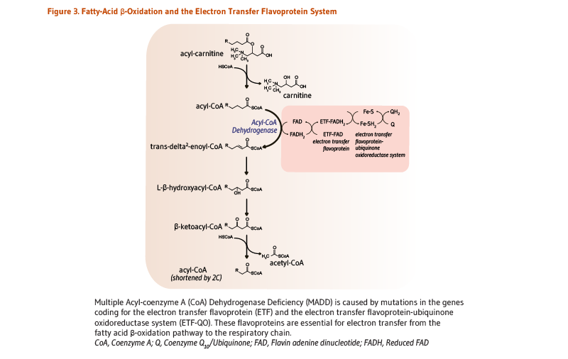 Figure 3. Fatty-Acid Beta-Oxidation and the Electron Transfer Flavoprotein System. Multiple acyl-coenzyme A dehydrogenase deficiency (MADD) is caused by mutations in the genes coding for the electron transfer flavoprotein (ETF) and the electron transfer flavoprotein-ubiquinone oxidoreductase (ETF-QO). These flavoproteins are essential for electron transfer from the fatty-acid beta-oxidation (beta-oxidation) pathway to the respiratory chain: FAD is the electron acceptor for acyl-CoA dehydrogenase (first step in fatty acid beta-oxidation), and it donates electrons to ETF-FAD, reducing it to ETF-FADH2. The flavoprotein is restored to its oxidized form by ETF-QO, which transfers the electrons to coenzyme Q10, via its iron-sulfur (Fe-S) cluster and FAD.