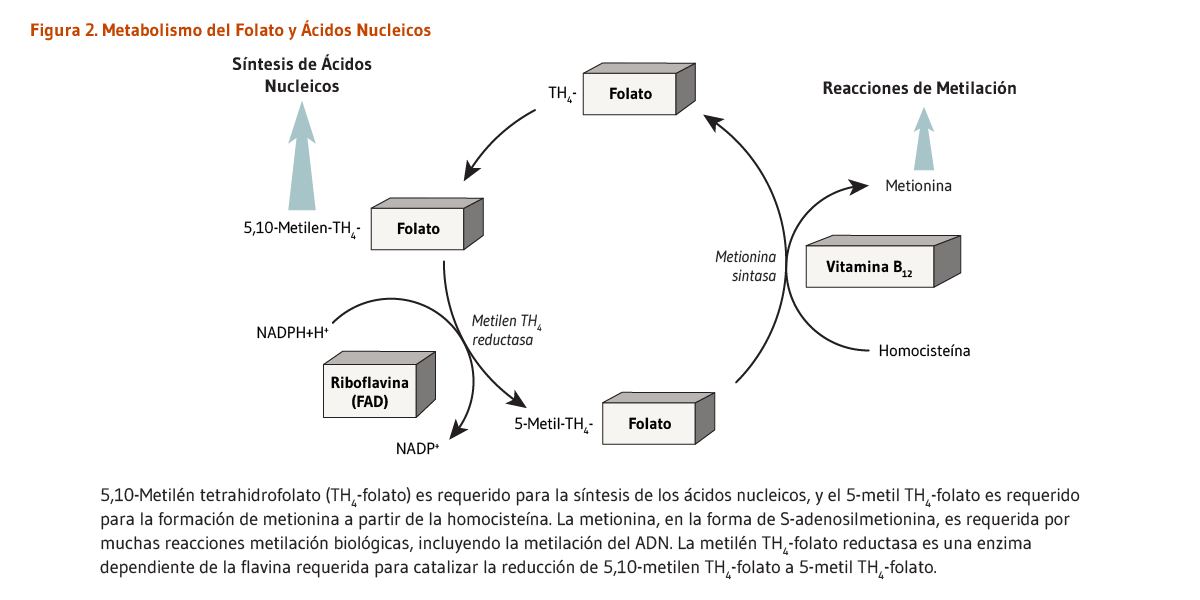 Dihidrofolato reductasa como objetivo terapéutico para la hipertensión