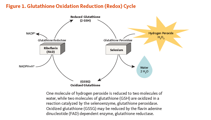 Figure 1. Glutathione Oxidation Reduction (Redox) Cycle. One molecule of hydrogen peroxide is reduced to two molecules of water, while two molecules of glutathione (GSH) are oxidized in a reaction catalyzed by the selenoenzyme, glutathione peroxidase. Oxidized glutathione (GSSG) may be reduced by the flavin adenine dinucleotide (FAD) dependent enzyme, glutathione reductase.