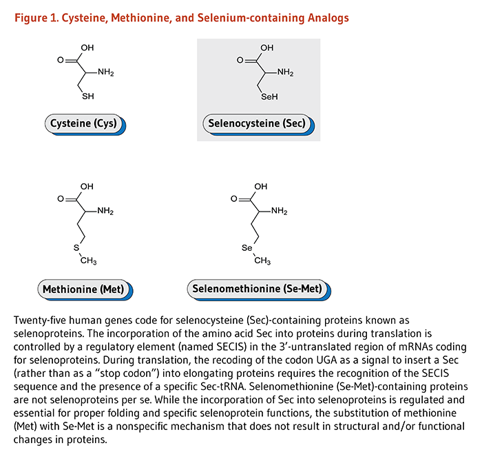 Figure 1. Cysteine, Methionine, and Selenium-containing Analogs. Chemical structures of cysteine, selenocysteine, methionine, and selenomethionine.