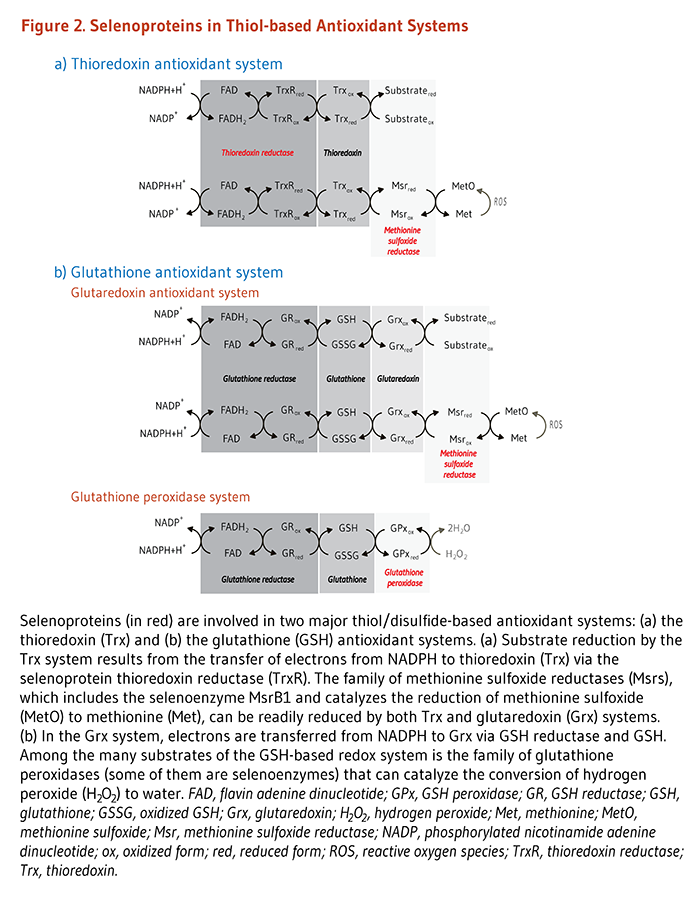 Figure 2. Selenoproteins in Thiol-based Antioxidant Systems: the thioredoxin antioxidant system and glutathione antioxidant system.