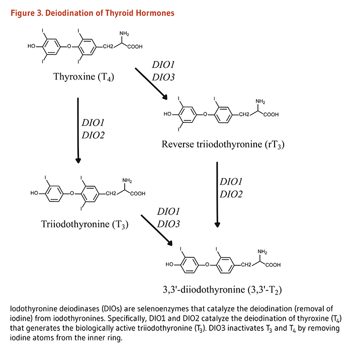 Figure 3. Deiodination of Thyroid Hormones.