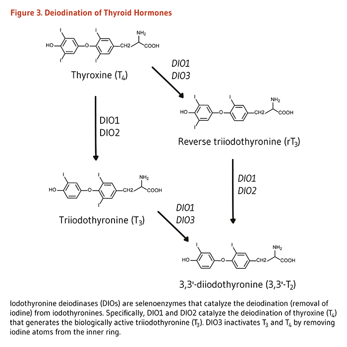 Figure 3. Deiodination of Thyroid Hormones. Iodothyronine deiodinases (DIOs) are selenoenzymes that catalyze the deiodination (removal of iodine) from iodothyronines. Specifically, DIO1 and DIO2 catalyze the deiodination of thyroxine (T4) that generates the biologically active triiodothyronine (T3). DIO3 inactivates T3 and T4 by removing iodine atoms from the inner ring.
