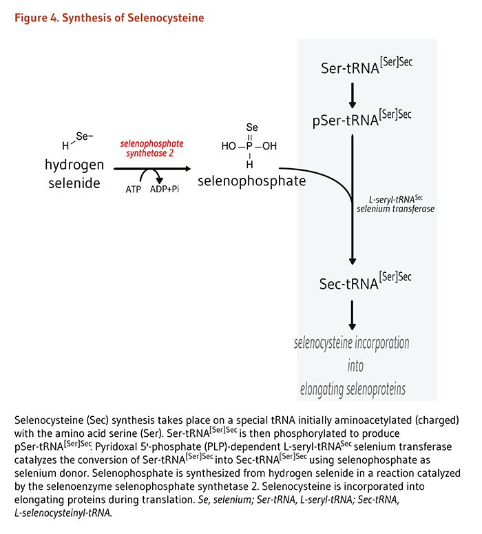 Figure 4. Synthesis of Selenocysteine. See text for description.