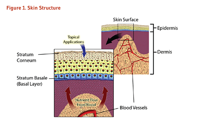 Figure 1. Skin Structure. See article text for details on the structure of skin.