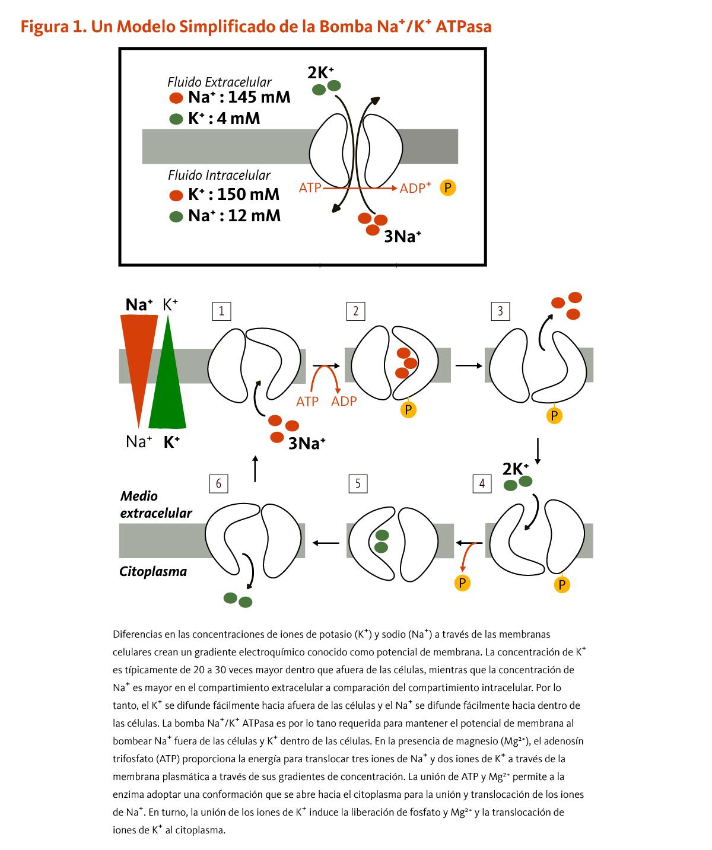 calcio bajo en orina en niños
