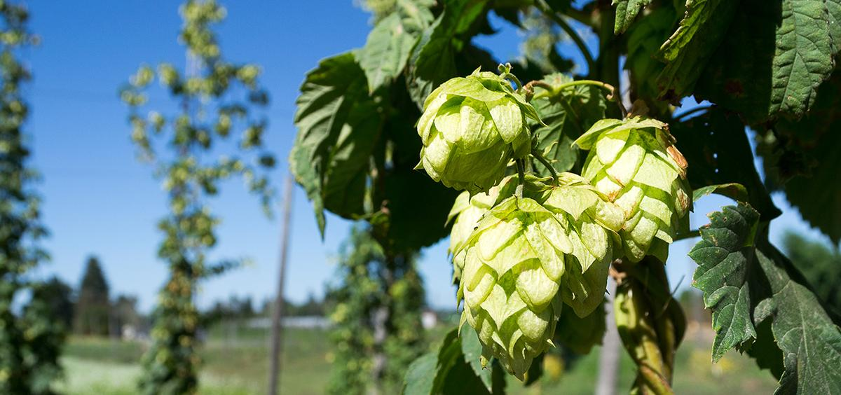 Hop Cones on a Vine