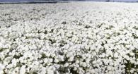 A field of meadowfoam