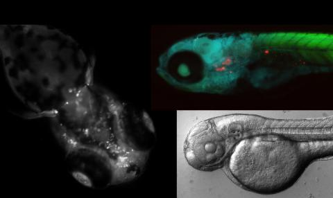 Zebrafish embryos
