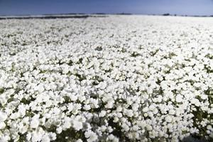 A field of meadowfoam