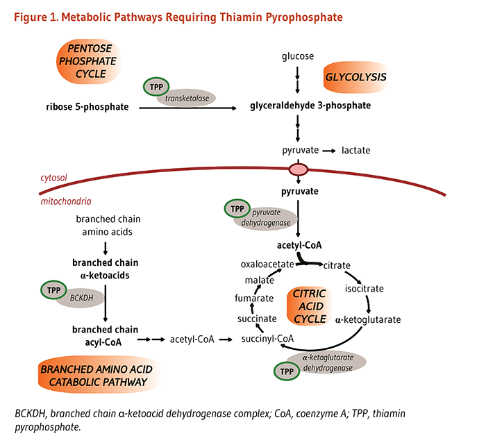 Figure 1. Metabolic Pathways Requiring Thiamin Pyrophosphate (TPP). As explained in the article text, TPP is critical for metabolic reactions that utilize glucose in glycolysis and the citric acid cycle. Specifically, TPP is needed for the following enzymes: transketolase in the pentose phosphate cycle, which converts ribose-5-phosphate to glyceraldehyde-3-phosphate; branched chain alpha-ketoacid dehydrogenase complex (BCKDH) in the branched amino acid catabolic pathway, which converts branched-chain alpha-ketoacids to branched chain acyl-CoA; pyruvate dehydrogenase, which converts pyruvate to acetyl-CoA (shown here, acetyl-CoA enters the citric acid cycle where it is metabolized); and alpha-ketoglutarate dehydrogenase, which coverts alpha-ketoglutarate to succinyl-CoA in the citric acid cycle.