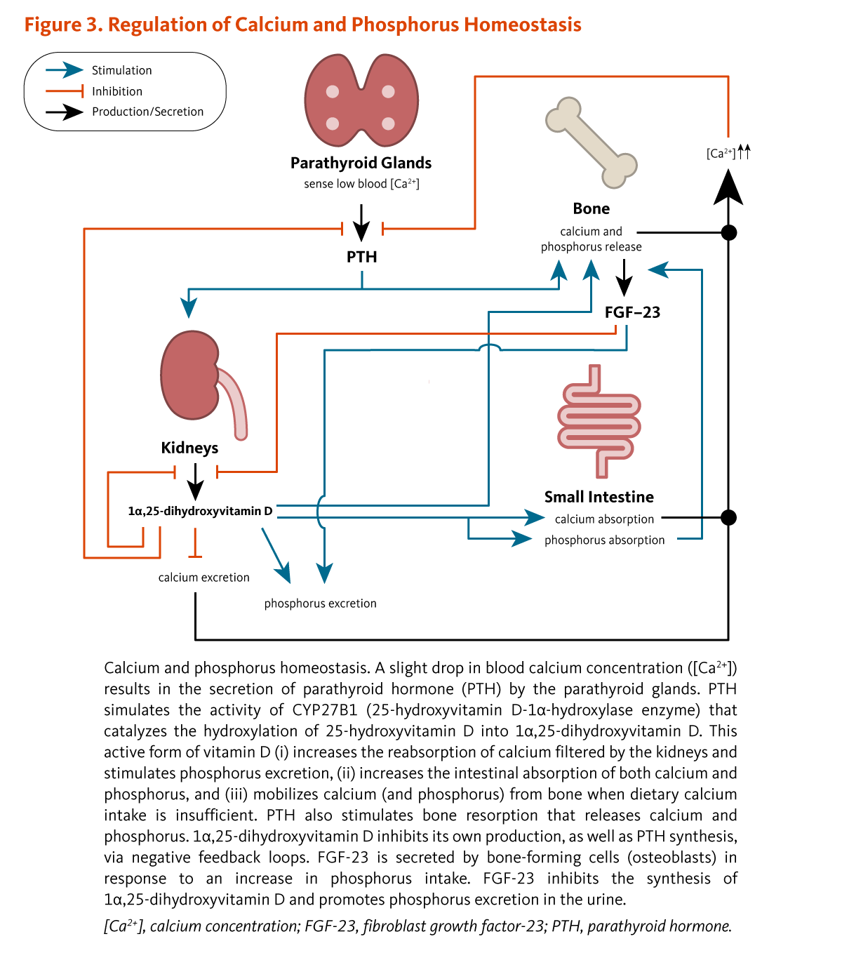 b6aee9a368b92 Figure 3. Regulation of Calcium and Phosphorus Homeostasis. Calcium and  phosphorus homeostasis. A