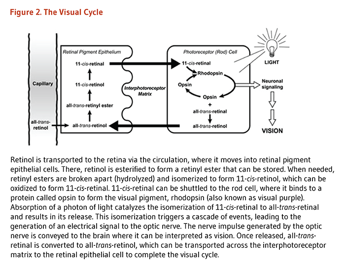 Figure 2. The Visual Cycle. Retinol is transported to the retina via the circulation, where it moves into retinal pigment epithelial cells. There, retinol is esterified to form a retinyl ester that can be stored. When needed, retinyl esters are broken apart (hydrolyzed) and isomerized to form 11-cis-retinol, which can be oxidized to form 11-cis-retinal. 11-cis-retinal can be shuttled to the rod cell, where it binds to a protein called opsin to form the visual pigment, rhodopsin (also known as visual purple). Absorption of a photon of light catalyzes the isomerization of 11-cis-retinal to all-trans-retinal and results in its release. This isomerization triggers a cascade of events, leading to the generation of an electrical signal to the optic nerve. The nerve impulse generated by the optic nerve is conveyed to the brain where it can be interpreted as vision. Once released, all-trans-retinal is converted to all-trans-retinol, which can be transported across the interphotoreceptor matrix to the retinal epithelial cell to complete the visual cycle.