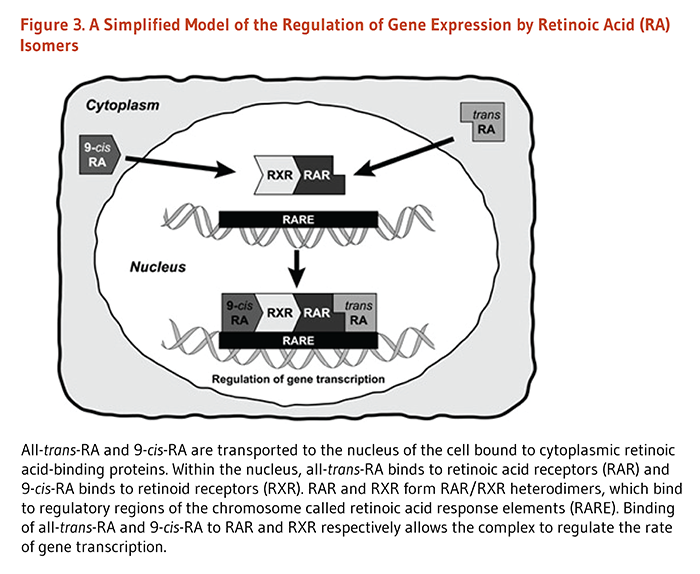 Figure 3. A Simplified Model of the Regulation of Gene Expression by Retinoic Acid (RA) Isomers. All-trans-RA and 9-cis-RA are transported to the nucleus of the cell bound to cytoplasmic retinoic acid-binding proteins. Within the nucleus, all-trans-RA binds to retinoic acid receptors (RAR) and 9-cis-RA binds to retinoid receptors (RXR). RAR and RXR form RAR/RXR heterodimers, which bind to regulatory regions of the chromosome called retinoic acid response elements (RARE). Binding of all-trans-RA and 9-cis-RA to RAR and RXR respectively allows the complex to regulate the rate of gene transcription.