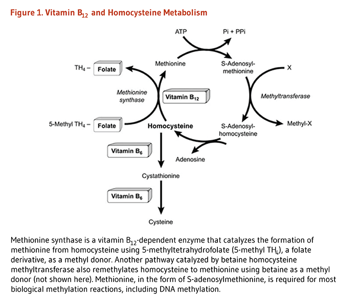 Figure 1. Vitamin B12 and Homocysteine Metabolism. Methionine synthase is a vitamin B12-dependent enzyme that catalyzes the formation of methionine from homocysteine using 5-methyltetrahydrofolate (5-methyl TH4), a folate derivative, as a methyl donor. Another pathway catalyzed by betaine homocysteine methyltransferase also remethylates homocysteine to methionine using betaine as a methyl donor (not shown here). Methionine, in the form of S-adenosylmethionine, is required for most biological methylation reactions, including DNA methylation.
