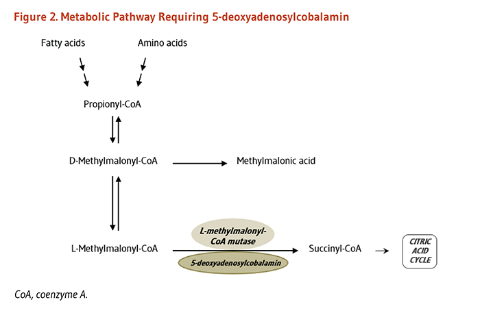Figure 2. Metabolic Pathway Requiring 5-Deoxyadenosylcobalamin. 5-deoxyadenosylcobalamin is required by L-methylmalonyl-CoA mutase, which converts L-methylmalonyl-CoA to succinyl-CoA.