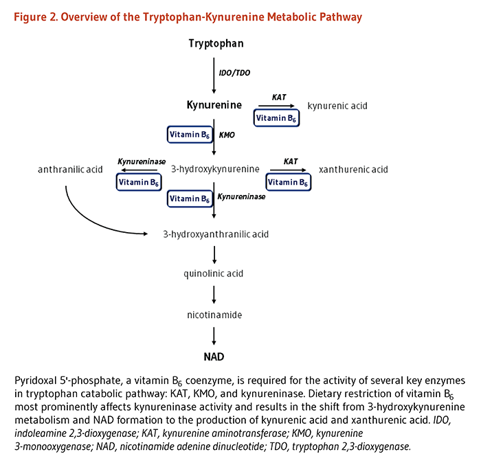 Figure 2. Overview of the Tryptophan-Kynurenine Metabolic Pathway. Pyridoxal 5'-phosphate, a vitamin B6 coenzyme, is required for the activity of several key enzymes in tryptophan catabolic pathway: KAT (kynurenine aminotransferase), KMO (kynurenine 3-monooxygenase), and kynureninase. As explained in the article text, tryptophan is metabolized to kynurenine, which is further metabolized with the vitamin B6-dependent enzymes, KAT or KMO. Through metabolism with KMO, 3-hydroxykynurenine is created, which can ultimately generate NAD. Dietary restriction of vitamin B6 most prominently affects kynureninase activity and results in the shift from 3-hydroxykynurenine metabolism and NAD formation to the production of kynurenic acid and xanthurenic acid.